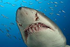 Нападение акул на North Shore