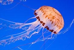 Как быть, если ужалила медуза?