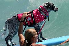 Cоревнования по серфингу среди собак на пляже Jupiter Beach