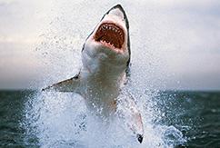 Как пережить нападение  акулы
